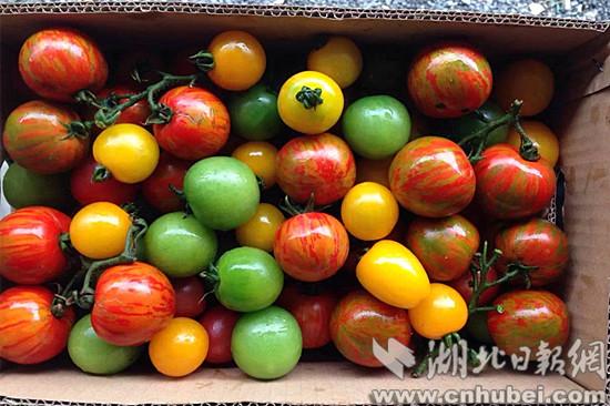 陵区打造宜昌最大西红柿基地 外观口感犹如水