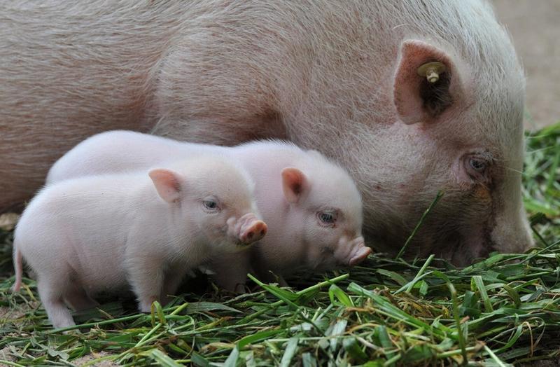 9月23日,德国汉诺威动物园,猪妈妈带着几头刚出生不久的小猪崽觅食.