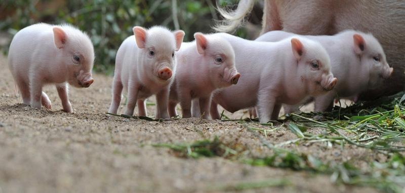 可爱的小猪崽