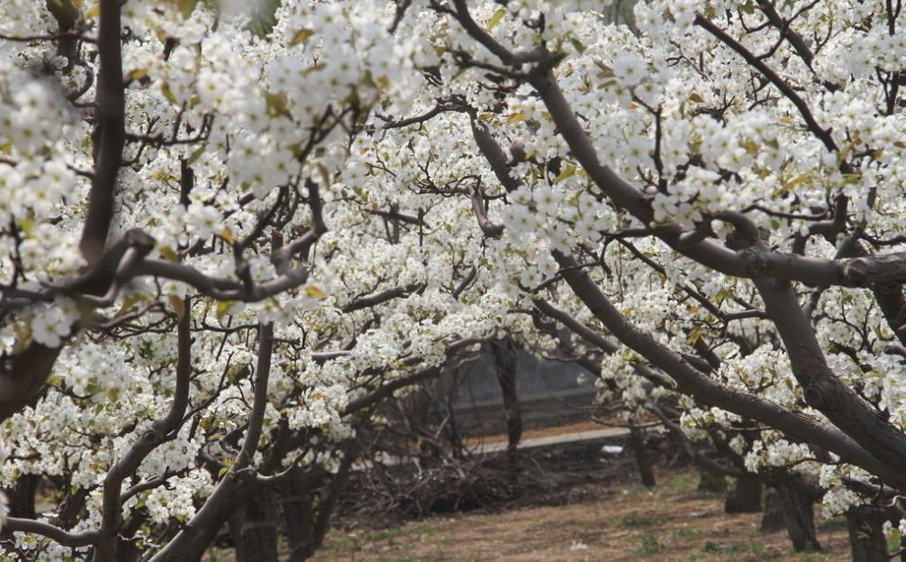 梨树,枝头上丛丛簇簇,星星点点