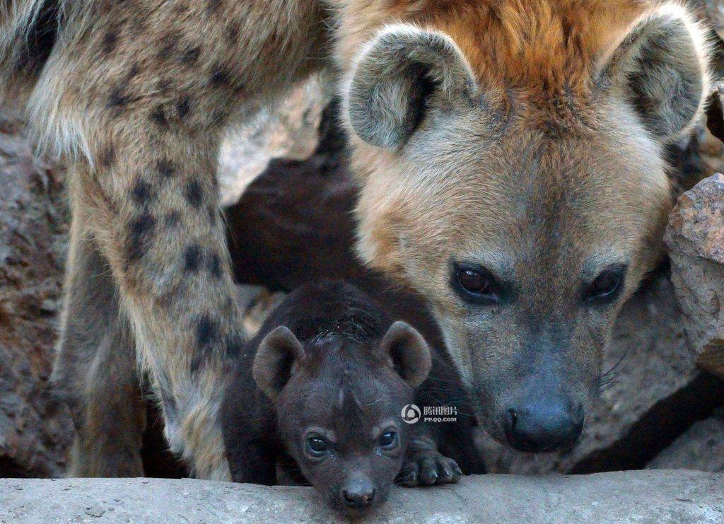"""国际家庭日 盘点有爱的""""动物一家人"""""""